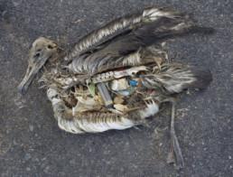 Bilde av en død fulg, som har spist marint søppel