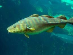 torsk - Photo: Havforskningsinstituttet