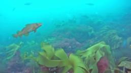 Bilde av en torsk under vann