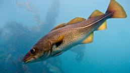 Kysttorsk. Foto: Havforskningsinstituttet