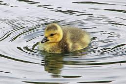 Mange fugler ligger på reir eller har unger i disse tider.