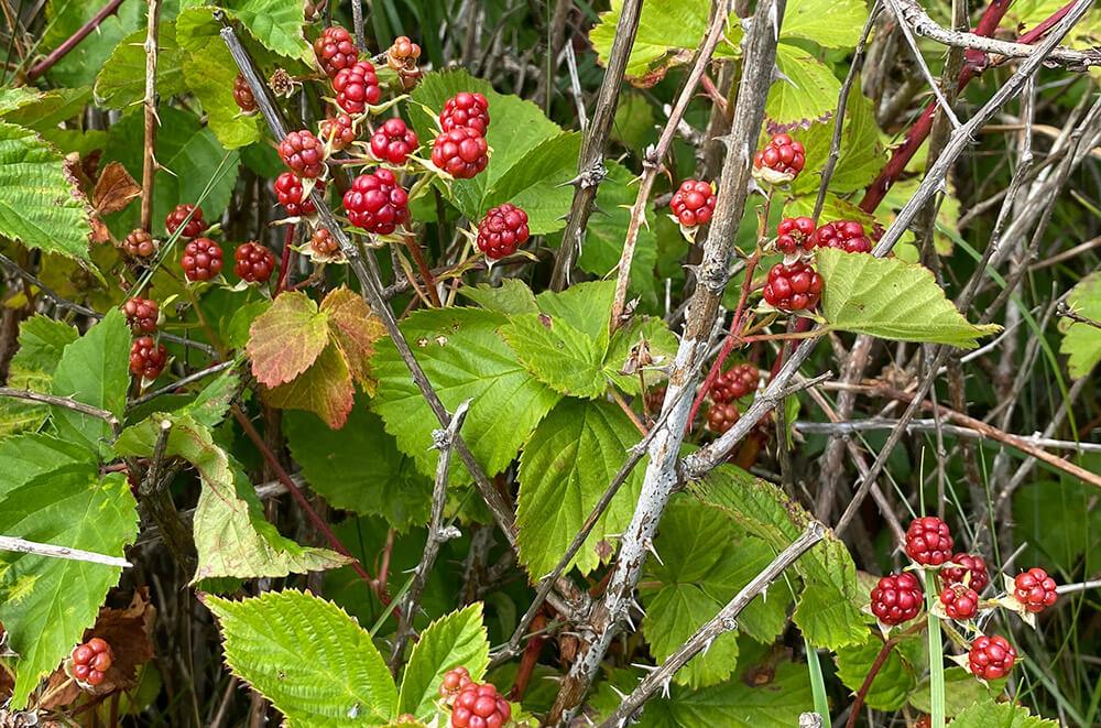 Ikke helt modne bjørnebær. Foto: Anne Sjømæling