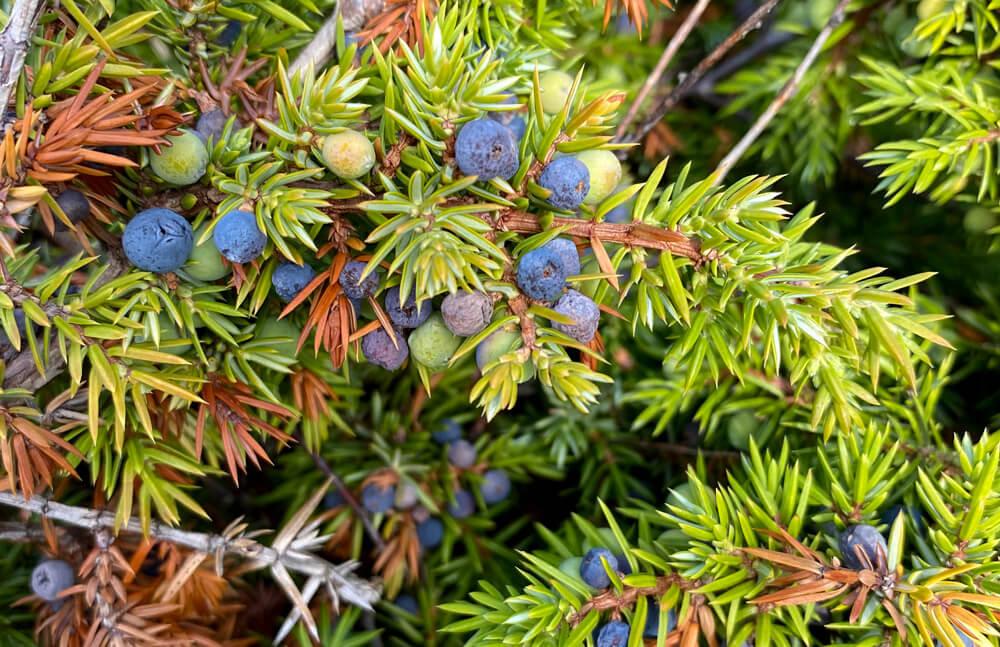 Einerbusk med blå og grønn bær. Foto: Anne Sjømæling