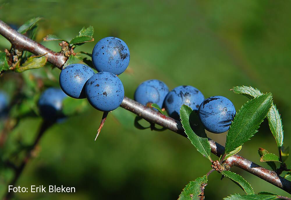 Blå bær av slåpetorn. Foto: Erik Bleken