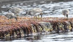 Flere polarsniper som spiser i tangbeltet. Foto: Dag Amundsen
