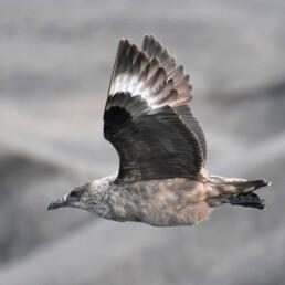 Flyvende storjo. Foto: Dag Amundsen
