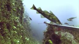 Torsk og tareskog og stereovideorigg. Foto av Havforskningsinstituttet