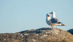 To fiskemåker på svaberg. Foto: Birgit Brosø