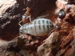 To maur og en bladlus. Foto: Arne Fjellberg